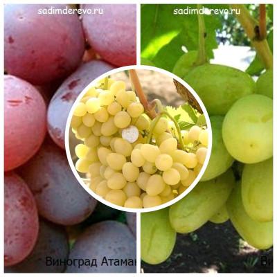 Виноград - комплект из 3-х сортов: Виноград Аркадия > Виноград Атаман > Виноград Богатяновский