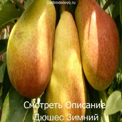 Груша Дюшес Зимний